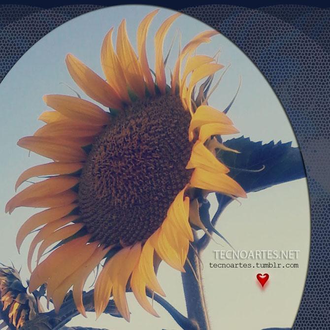 Wallpaper girasol, sunflower