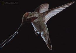El pájaro más pequeño del mundo